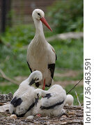 White stork (Ciconia ciconia) standing beside its two preening chicks. In captive breeding colony raising young birds to supply UK White Stork reintroduction... Стоковое фото, фотограф Nick Upton / Nature Picture Library / Фотобанк Лори