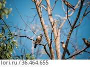 Goa, India. Rosy Starling Birds Sitting On Branches Of Tree On Backgroung... Стоковое фото, фотограф Ryhor Bruyeu / easy Fotostock / Фотобанк Лори