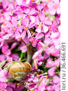Macro of small garden snail eating spring ping flower on garden. Стоковое фото, фотограф Zoonar.com/ARTUSH / easy Fotostock / Фотобанк Лори