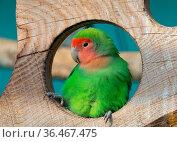 Nyasa Lovebird or Lilian's lovebird, Agapornis lilianae, green exotic... Стоковое фото, фотограф Zoonar.com/Kokhanchikov / easy Fotostock / Фотобанк Лори