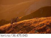 Tatra chamois, rupicapra rupicapra tatrica, walking backlit in mountains... Стоковое фото, фотограф Zoonar.com/Jakub Mrocek / easy Fotostock / Фотобанк Лори
