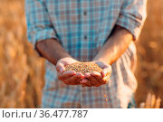 Farmer hands hold ripe wheat seeds after the harvest. Стоковое фото, фотограф Zoonar.com/Max / easy Fotostock / Фотобанк Лори