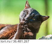 Россия, чёрный кот на даче облизывает лапку. Стоковое фото, фотограф glokaya_kuzdra / Фотобанк Лори