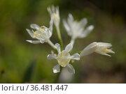 Flora of Gran Canaria - Pancratium canariense, Canary Sea Daffodil natural macro floral background. Стоковое фото, фотограф Tamara Kulikova / Фотобанк Лори