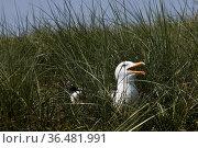 Bruetende und rufende Silbermoewe, (Larus argentatus), Insel Duene... Стоковое фото, фотограф Zoonar.com/Stefan Ziese / age Fotostock / Фотобанк Лори