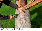 Man worker cuts off the bark with saw from the palm tree. Стоковое фото, фотограф Zoonar.com/Max / easy Fotostock / Фотобанк Лори