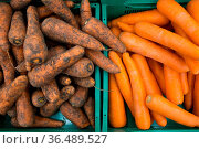 Washed and unwashed carrots on a store counter. Стоковое фото, фотограф Zoonar.com/Max / easy Fotostock / Фотобанк Лори