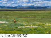 Altai marmot (Marmota baibacina) in steppe landscape, Ukok plateau, Altai Republic, Russia. Стоковое фото, фотограф Olga Kamenskaya / Nature Picture Library / Фотобанк Лори