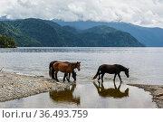 Wild horses at edge of lake, Lake Teletskoye. Altai Nature Reserve, Altai Republic, Russia. Стоковое фото, фотограф Olga Kamenskaya / Nature Picture Library / Фотобанк Лори