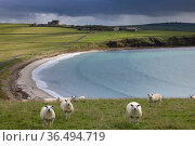 Sheep in a field at Hoxa, South Ronaldsay, Orkney Isles, Scotland. October 2020. Стоковое фото, фотограф David Noton / Nature Picture Library / Фотобанк Лори