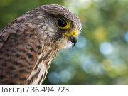 Kestrel (Falco tinnunculus) captive at Pitcombe Rock Falconry, Somerset, England, UK. July. Стоковое фото, фотограф David Noton / Nature Picture Library / Фотобанк Лори