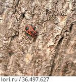 Einzelne Feuerwanze (Pyrrhocoris apterus) am Stamm einer Linde. Стоковое фото, фотограф Zoonar.com/Heiko Kueverling / easy Fotostock / Фотобанк Лори