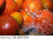 Multicolored tomatoes are washed. Стоковое фото, фотограф Владимир Белобаба / Фотобанк Лори