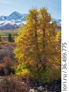 Autumn Altai highland landscape. Larch trees are on foreground and snow mountains are on background. Стоковое фото, фотограф Serg Zastavkin / Фотобанк Лори