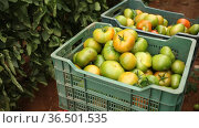 Freshly picked green organic tomatoes in boxes on background of planted bushes in greenhouse. Harvest time. Стоковое видео, видеограф Яков Филимонов / Фотобанк Лори