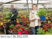 Man and woman cultivating flowers mint in glasshouse. Стоковое фото, фотограф Яков Филимонов / Фотобанк Лори