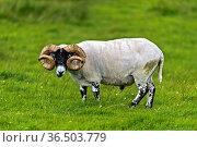 Schottisches Blackface Schaf, Bock, Insel Skye, Innere Hebriden, ... Стоковое фото, фотограф Zoonar.com/Pant / age Fotostock / Фотобанк Лори