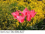 Tulpen, Garten, blumen, tulpe, rot, orange, gelb, frühling, frühjahr... Стоковое фото, фотограф Zoonar.com/Volker Rauch / easy Fotostock / Фотобанк Лори