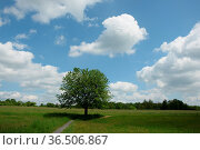 Kirschbaum, kirsche, baum, wiese, landschaft, dreifelden, westerwald... Стоковое фото, фотограф Zoonar.com/Volker Rauch / easy Fotostock / Фотобанк Лори