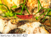 Red freshwater shrimp closeup shot in aquarium (genus Neocaridina) Стоковое фото, фотограф Zoonar.com/Jiri Plistil / easy Fotostock / Фотобанк Лори
