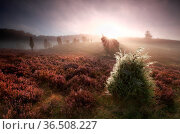 Foggy sunrise over hills with unipers and heather, Totengrund, Germany. Стоковое фото, фотограф Zoonar.com/Olha Rohulya / easy Fotostock / Фотобанк Лори