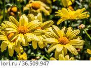 Blühender Blumenschuck im Blumenbeet. Стоковое фото, фотограф Zoonar.com/Dr. Lange / easy Fotostock / Фотобанк Лори
