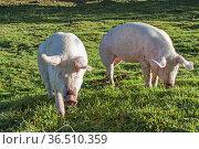 Hausschweine genießen die Freiheiten auf einer Almwiese in Tirol. Стоковое фото, фотограф Zoonar.com/Eder Christa / easy Fotostock / Фотобанк Лори