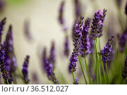 Close Up of Beautiful Lavender blooming in early summer on a sunny... Стоковое фото, фотограф Zoonar.com/Nailia Schwarz / easy Fotostock / Фотобанк Лори