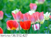 Tulpen, tulpe, tulipa, rot, garten, gartenblume, gartenblumen, blumengarten... Стоковое фото, фотограф Zoonar.com/Volker Rauch / easy Fotostock / Фотобанк Лори