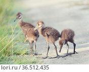 Limpkin Chicks Crossing a Trail in Florida Wetlands. Стоковое фото, фотограф Zoonar.com/Svetlana Foote / easy Fotostock / Фотобанк Лори