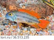 Cichlid fish Apistogramma cacatuoides in a aquarium. Стоковое фото, фотограф Zoonar.com/Jiri Plistil / easy Fotostock / Фотобанк Лори