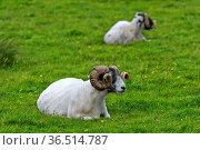 Schottisches Blackface Schaf, Bock, Insel Skye, Innere Hebriden, Schottland... Стоковое фото, фотограф Zoonar.com/Pant / easy Fotostock / Фотобанк Лори