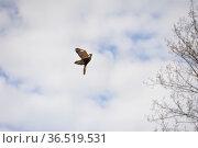 Common kestrel flying free,wings spread. Стоковое фото, фотограф Zoonar.com/Arvidas Saladauskas / age Fotostock / Фотобанк Лори