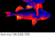 Fish perch close-up in scientific high-tech thermal imager on black... Стоковое фото, фотограф Zoonar.com/Maximilian Buzun / easy Fotostock / Фотобанк Лори