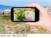 Travel concept - tourist photographs of grapes bush in garden near... Стоковое фото, фотограф Zoonar.com/Valery Voennyy / easy Fotostock / Фотобанк Лори
