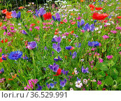 Blumenwiese, Wiesenblumen, Wildblumen. Стоковое фото, фотограф Zoonar.com/Manfred Ruckszio / easy Fotostock / Фотобанк Лори