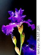 Schwertlilie, Iris Barbata-Elatior, Blue Rhythm, Hohe Bart-Iris. Стоковое фото, фотограф Zoonar.com/Manfred Ruckszio / easy Fotostock / Фотобанк Лори