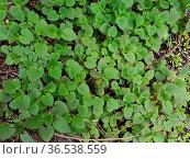 Weisse Taubnessel, ist eine Wildpflanze und Heilpflanze. Стоковое фото, фотограф Zoonar.com/Manfred Ruckszio / easy Fotostock / Фотобанк Лори