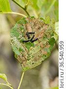 Alder leaf beetle (Agelastica alni) black larvae and severe leaf damage to alder (Alnus glutinosa) tree, Berkshire, England, July. Стоковое фото, фотограф Nigel Cattlin / Nature Picture Library / Фотобанк Лори