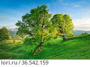 Bergahorn im Bergfrühling bei Ennetbühl im Toggenburg, Kanton St. ... Стоковое фото, фотограф Patrick Frischknecht / age Fotostock / Фотобанк Лори