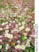 Blühende, bunte Blumenwiese in der Ostschweiz bei Gossau im Kanton... Стоковое фото, фотограф Patrick Frischknecht / age Fotostock / Фотобанк Лори