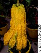 Zitronat-Zitrone, Buddhas, Hand, Citrus, medica. Стоковое фото, фотограф Zoonar.com/Manfred Ruckszio / easy Fotostock / Фотобанк Лори