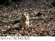 Mischlingshund sitz in trockenem Laub. Стоковое фото, фотограф Zoonar.com/Martina Berg / easy Fotostock / Фотобанк Лори