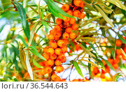 Orange small berries of natural sea buckthorn with green a leaves. Стоковое фото, фотограф Zoonar.com/Alexander Blinov / easy Fotostock / Фотобанк Лори