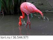 Flamingo. Стоковое фото, фотограф Zoonar.com/Martina Berg / easy Fotostock / Фотобанк Лори