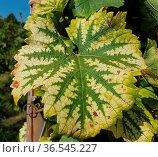 Weinblatt, Blatt, Herbst, Vitis vinifera. Стоковое фото, фотограф Zoonar.com/Manfred Ruckszio / easy Fotostock / Фотобанк Лори