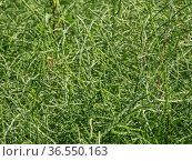Горный Алтай. Поле солянки холмовой (Salsola collina). Altai mountains. Field of saltwort (Salsola collina). Стоковое фото, фотограф Евгений Романов / Фотобанк Лори