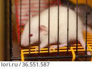 White domestic rat. Стоковое фото, фотограф Argument / Фотобанк Лори