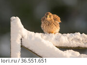 Kestrel (Falco tinnunculus) female perching on gate in snow, Scotland, UK, December. Стоковое фото, фотограф SCOTLAND: The Big Picture / Nature Picture Library / Фотобанк Лори