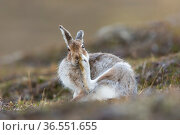 Mountain hare (Lepus timidus) in spring pelage /coat grooming, Scotland, UK, April. Стоковое фото, фотограф SCOTLAND: The Big Picture / Nature Picture Library / Фотобанк Лори